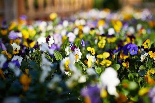 A group of pansies sitting in the sun